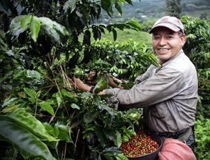 Las haciendas cafeteras se esconden entre el intenso colorido de los cafetales, platanares y praderas de la Cordillera Central de los Andes. Foto: Shutterstock.